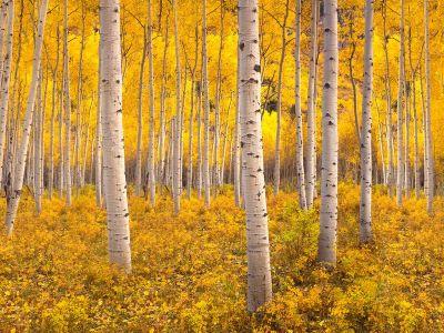 aspen-trees